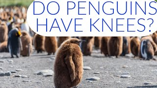 Do Penguins Have Knees? And Other Awesome Penguin Facts