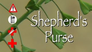 Shepherd's Purse: Edible, Medicinal & Cautions