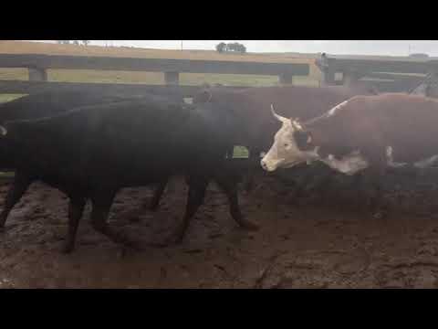 Afiche 127 Vacas preñadas  - 440kg - Rivera