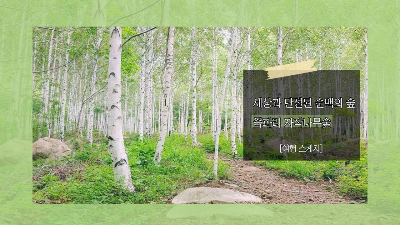 [여행스케치/영양] 세상과 단절된 순백의 숲죽파리 자작나무숲
