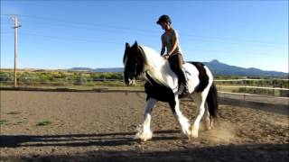 Gypsy vanner for sale