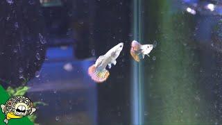 My Fish Room Tour - AKA the Guppy Algae Farm!
