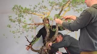 Scots Pine Bonsai Timelapse