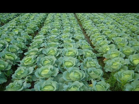 , title : 'How to Grow Cabbage | Cabbage Farming and Cabbage Harvesting