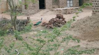Peacock(Peafowl) escaping feeling danger or if stranger coming near it. मोर, भारत