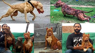 Biggest Pitbull in Punjab update Show Class Dogs - Hsn Entertainment