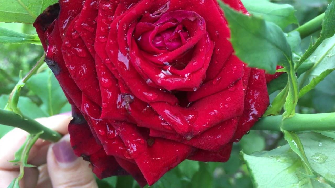 Роза Black Magic (Черная Магия) в моем саду!