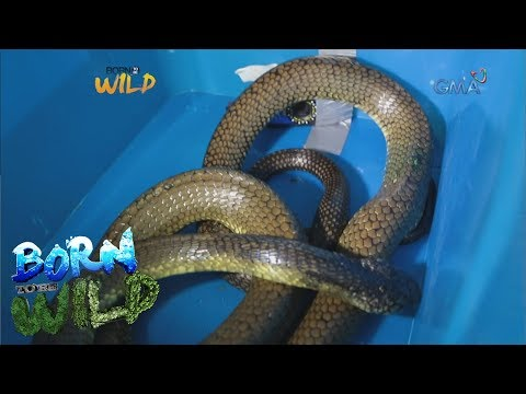 [GMA]  Born to Be Wild: King cobra in a drum