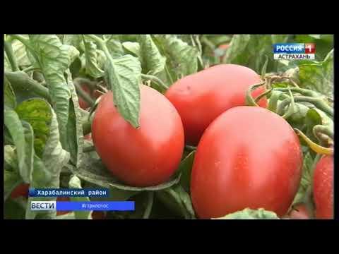 Земледельцы астраханского агрохолдинга собирают урожай томатов