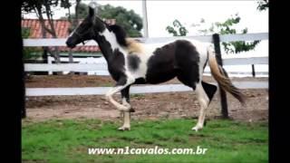 Lua do RG Mangalarga Marchador a venda no N1 Cavalos