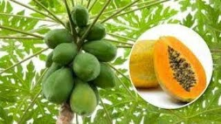 How To Grow Papaya Tree In Container   Repotting Papaya Tree   Tips To Grow Papaya