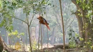 Sacred Sun-bird Returns To Mayan Ruins In Honduras