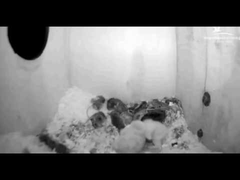 Tawny Owls: Growth of Chicks - 24th, 26th, 29th Mar & 1st Apr - 01.04.17