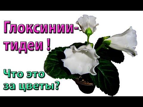 🌼Глоксинии-тидеи! Что это за цветы? Вот они, расцвели!🌼 🌱
