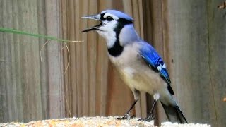 Blue Jay Imitating Red Shouldered Hawk Call