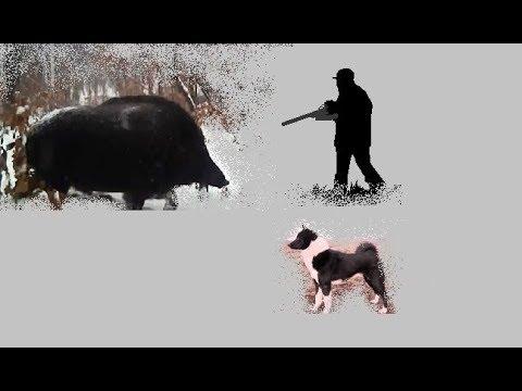 Lov divočáků v Rusku – napadení lovce!