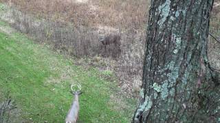 Whitetail buck looking for a fight  Snort-Weeze at Decoy