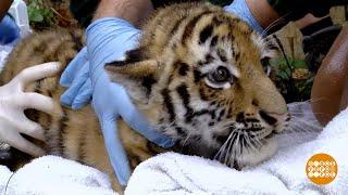 В мире. Амурские тигрята-близнецы. 19.09.2018