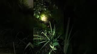 Nocny postrzałek