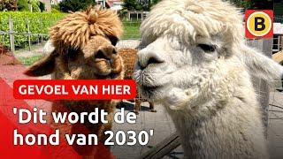 Geen hond of kat, maar alpaca als huisdier | Omroep Brabant