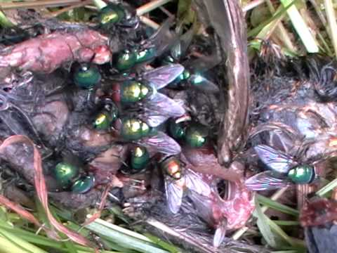 Flies and carcass-diggers on a dead garden warbler! Lucillia spp, Oiceoptoma thoracica