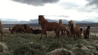 Icelandic horses are super friendly