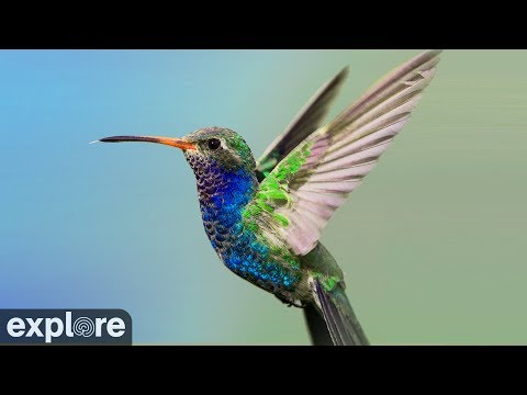 Bella Hummingbird's Nest powered by EXPLORE.org