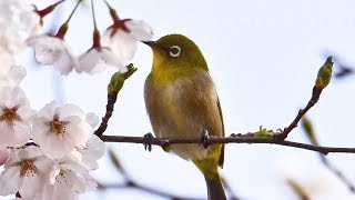 "Peaceful Soothing Relaxing Music, ""Dawning Spring"" by Tim Janis"