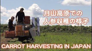 月山高原育ちのにんじん収穫 CARROT HARVESTING IN JAPAN