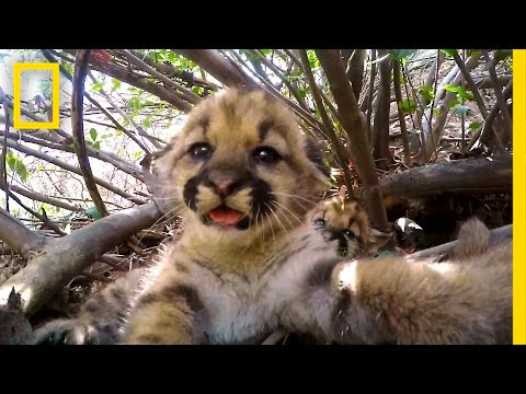 Cute Mountain Lion Kittens | National Geographic thumbnail