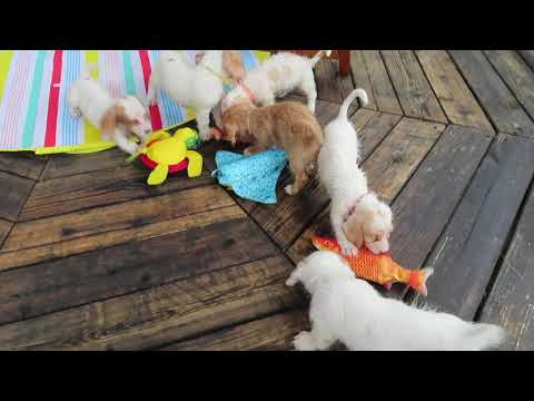 Bassetoodles playing with fish