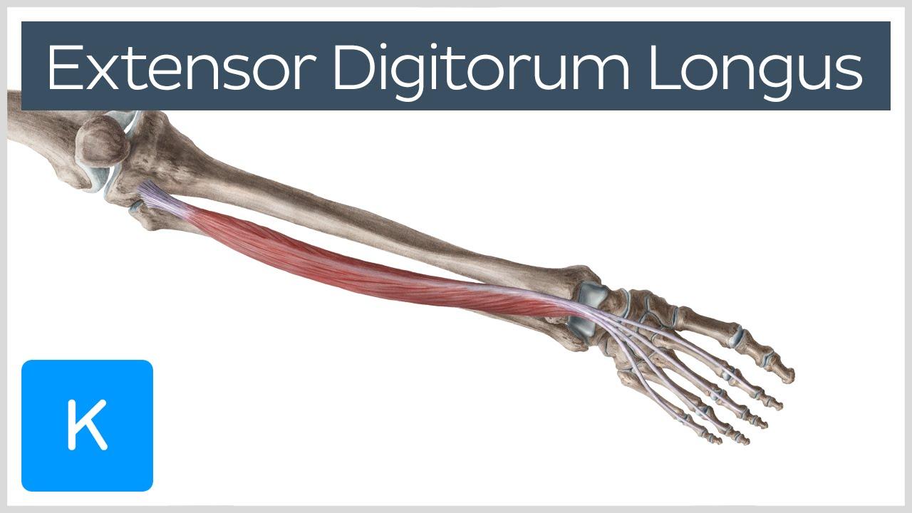 video extensor digitorum longus muscle kenhub