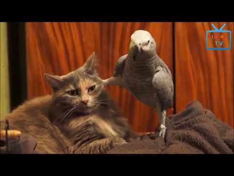 Funny Animal Mating - Top Funny Parrots Annoying Cats In The World