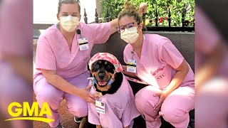 Therapy Dog, 'Dogtor Loki', Delivers 'Hero Healing Kits' To Health Care Workers   GMA Digital