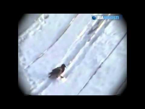 Κοράκι κάνει snowboard