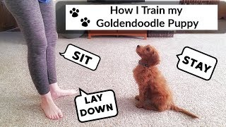 TRAINING GOLDENDOODLE PUPPY
