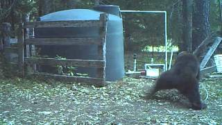 INSTANT KARMA bear gets hit in the nuts for messing with my water tank