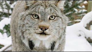 Zoo Montana's Canada Lynx