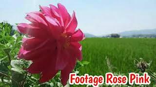 Dahlia pink Cinematic Alam