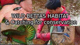 Catching Wild Bettas in THAILAND for breeding conservation! Betta smaragdina natural habitat!