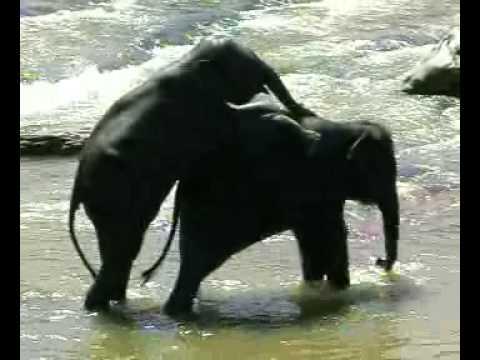 sri lanka Pinnawela elephant orphanage