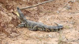 OMG!! Brave Boy Catches Crocodile in Hole By Digging, Digging Deep Hole to Catch Crocodile Primitive