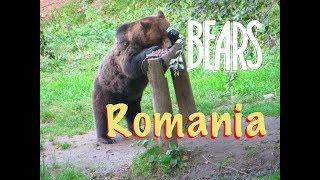 Romanian BEAR in Brașov, Transylvania