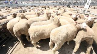 Mount Gambier Lamb Market Report - 28th October 2015