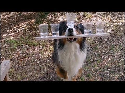 العرب اليوم - شاهد: كلب استرالي يرقص بالأكواب ويؤدي حركات بهلوانية