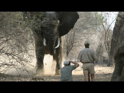 How to tell if an elephant is about to charge