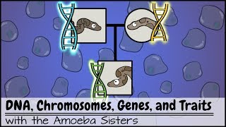 DNA, Chromosomes, Genes, And Traits: An Intro To Heredity