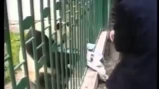 Панда схватила человека/Panda