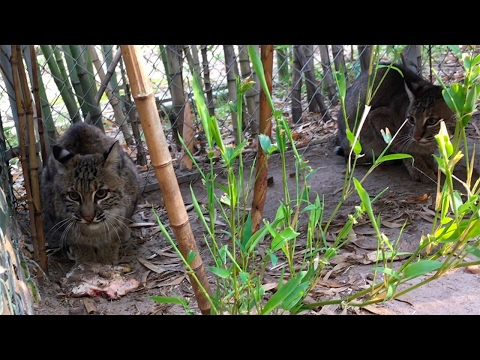Rescuing 2 Bobcats From An Alabama Zoo - Part 1