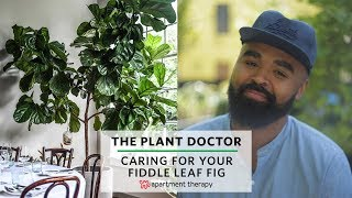 How To Care For Your Fiddle Leaf Fig   The Plant Doctor